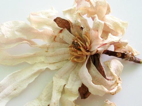 Dried White Flower