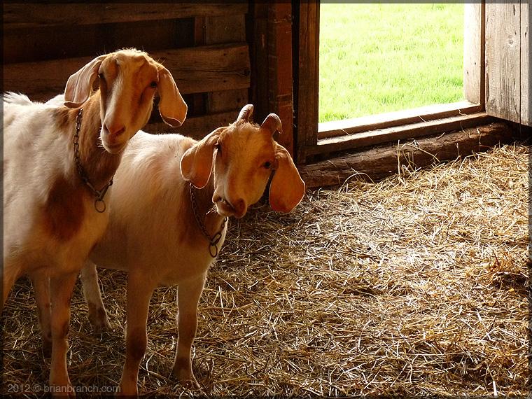 P1250606_goats