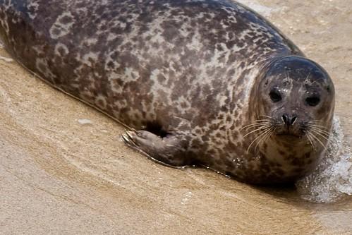 Seal, La Jolla, CA