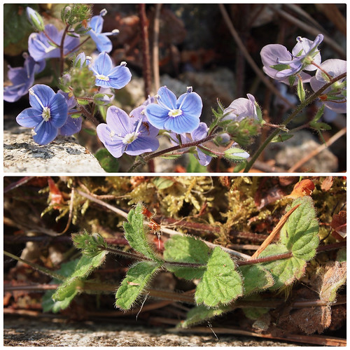 Germander speedwell, Veronica chamaedrys?