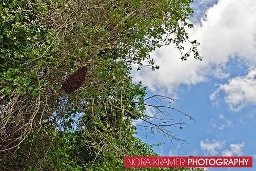 Bee Removal DSC_3661