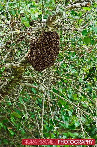 Bee Removal DSC_3670