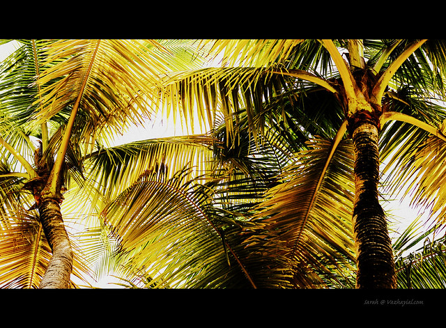 Coconut tree caribe hilton (2 of 1)