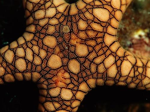 starfish02-fromia-starfish_18221_600x450