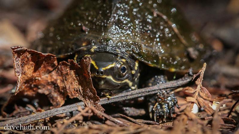 Common Musk Turtle (Sternotherus odoratus)