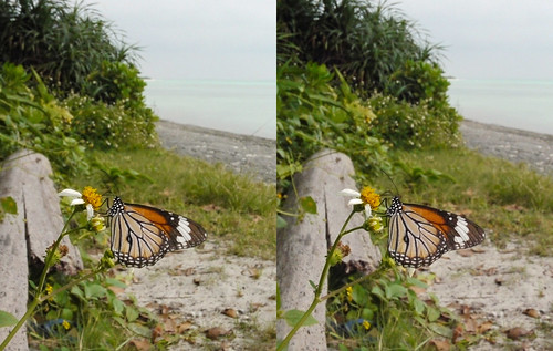 Danaus genutia, stereo parallel view