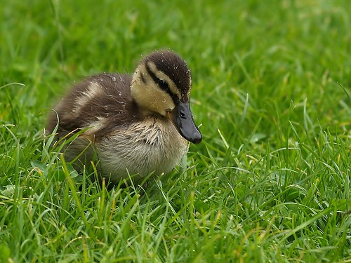 Duckling  by ~~Kay Musk ~~