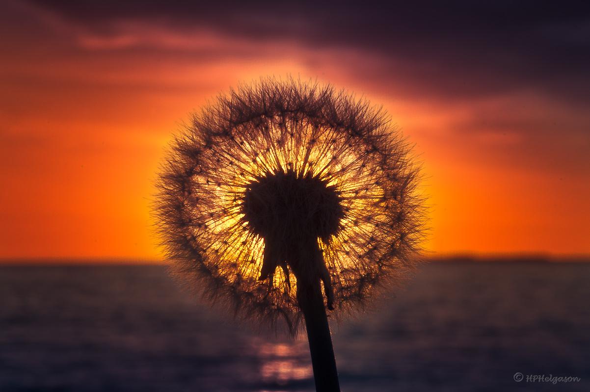 SÓL-BLÓM / SUN-FLOWER