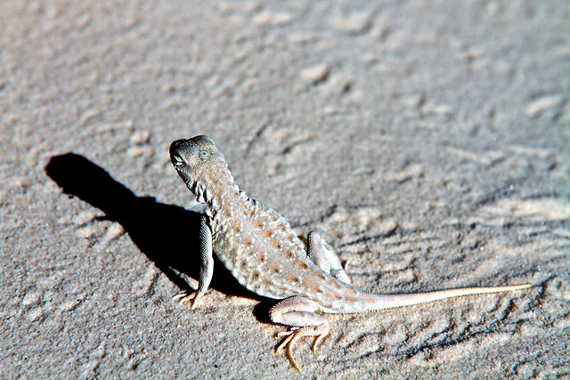 The Bleached Earless Lizard