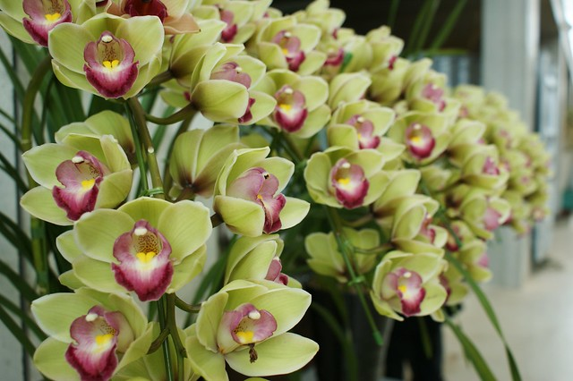 Cymbidium SHINNOU (green with pink) (2)