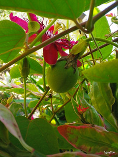 Passion Flower Fruit  3-30-2014 2-50-036