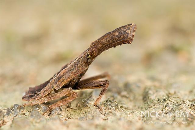 Planthopper (Fulgoromorpha ) - DSC_6871