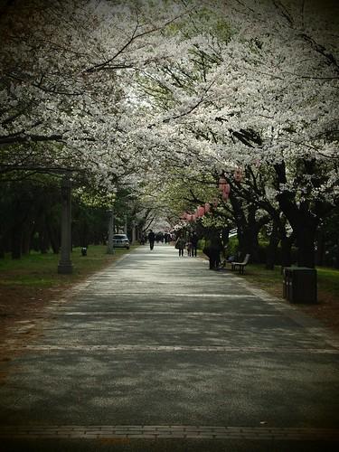4/7 辰巳の森公園の桜は見頃です