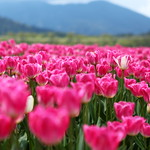 2012 Tulip Festival @ Agassiz, BC, Canada