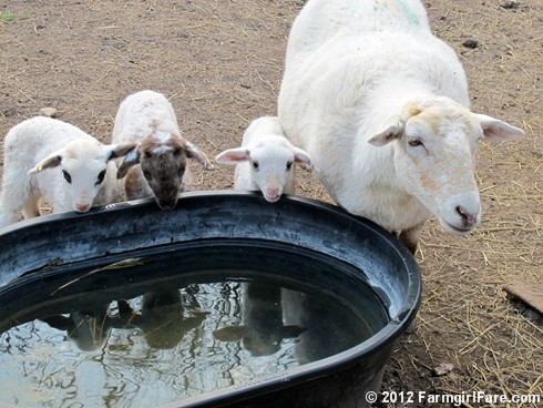 Friendly and her thirsty triplets - FarmgirlFare.com