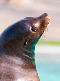 Shiny sea lion