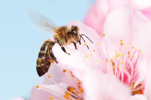 [フリー画像素材] 動物 2, 昆虫, 蜂・ハチ, ミツバチ ID:201203310600