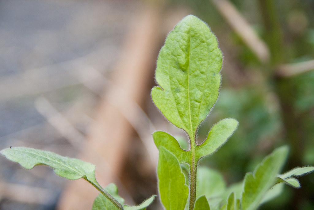 Rudbecia triloba leaf