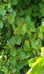 annual plant, flower, leaf, grape leaves, green,