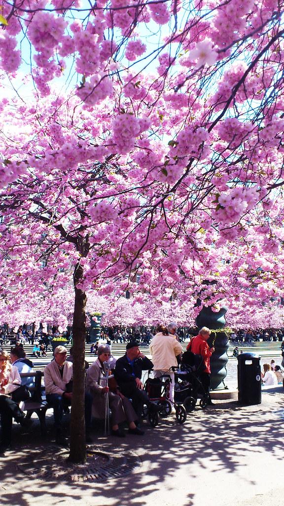 Kungsträdgården 29APR2012 körsbärsträden blommar