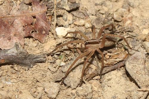 field spider wolf spiders wildlife andrew guide arachnids rabida rabid hoffman invertebrate lycosidae rabidosa