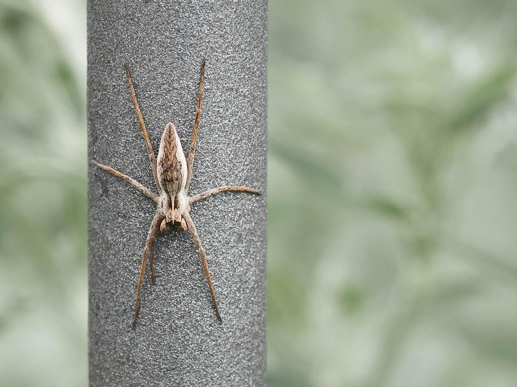 Araña en barrote - Valladolid