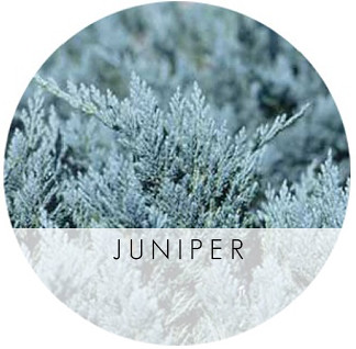 Blue_Chip_Juniper_LG