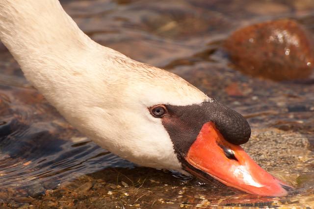 Male swan 2 5-11