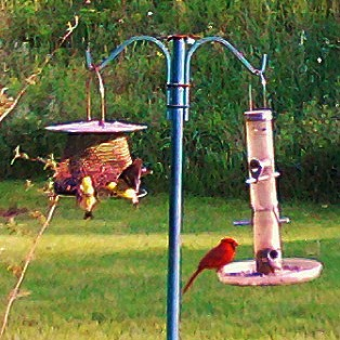 "Goldfinch in flight, fighting with another male gold finch, and ""Jack"" in his favorite spot. by Quilter Bear"