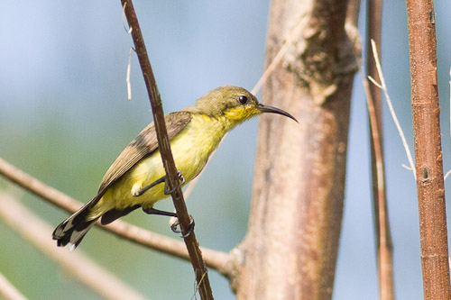 female Olive-backed Sunbird