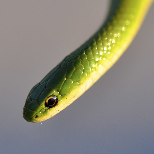 Smooth Green Snake - Opheodrys vernalis