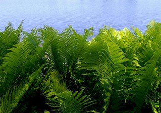 Afternoon Light on Ferns Along the River