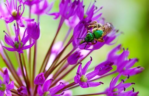 Halictid Bee 3 by Violet Brown