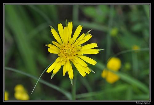Barbe de bouc (Tragopogon pratensis)