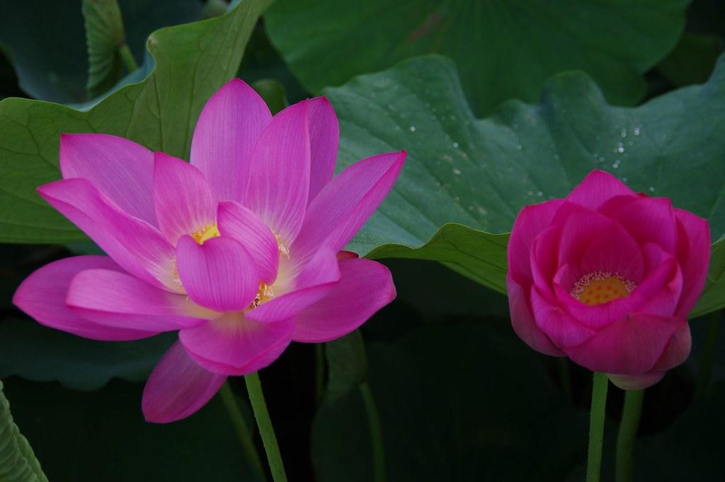 20120526-白河韶安蓮花公園(梗多...)