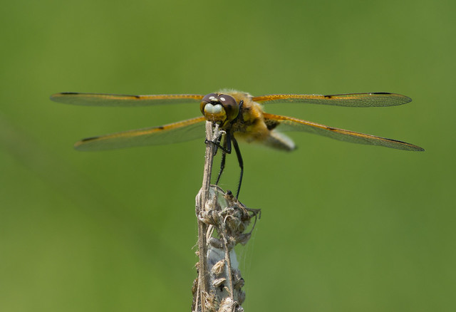 4 spotted chaser