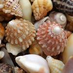 觀音海岸早年有撿不完的貝殼,因為海水當時很乾淨,現在雖然水質差,貝殼少很多(攝影:潘忠政)