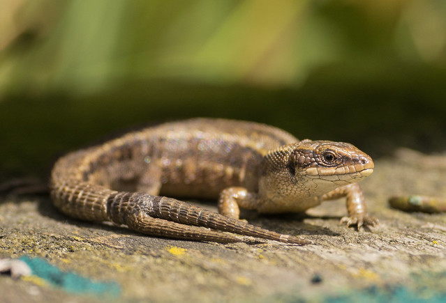 2 tailed common lizard