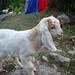 Baby goat invasion!