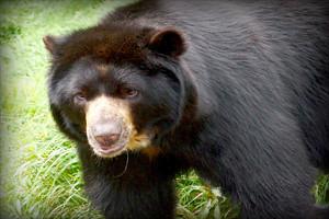 oso-anteojos-parque-nacional-cutervo-cajamarca