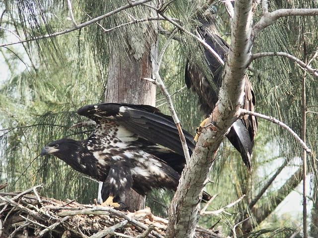 Bald Eaglets 7-20140413