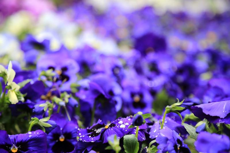 pensées violette jardin botanique madrid