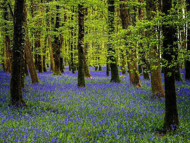 Bluebells 8th May 2016