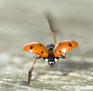Crash landing of a ladybird