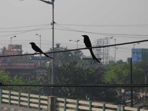 Black Drongo by always_smile..