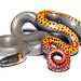 Ringneck Snake - Photo (c) A. Jaszlics, some rights reserved (CC BY-NC)