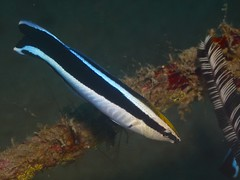 Bluestreak Cleaner Wrasse - Photo (c) Elias Levy, some rights reserved (CC BY)