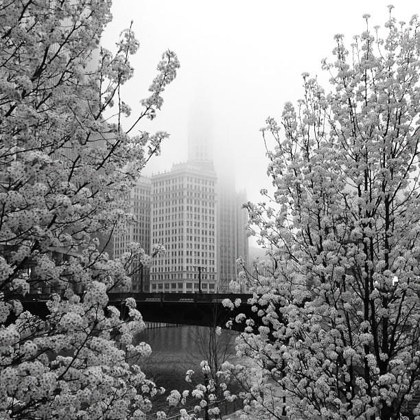 Wrigley Building between blooming trees