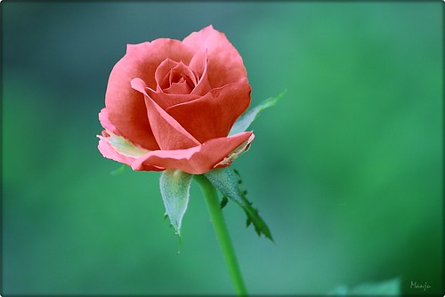 The sharp thorn often produces delicate roses........