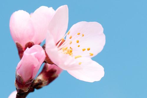 無料写真素材, 花・植物, アーモンド